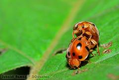 Anugerah & rahmat untuk setiap ciptaanNYA (DQuantan) Tags: macro nature butterfly fly bugs malaysia ladybird putrajaya makro kuantan melayu belalang d60 serangga kumbang kehidupan suhaidi payaindahwetland beautifulmonsters malaysialake dquantan