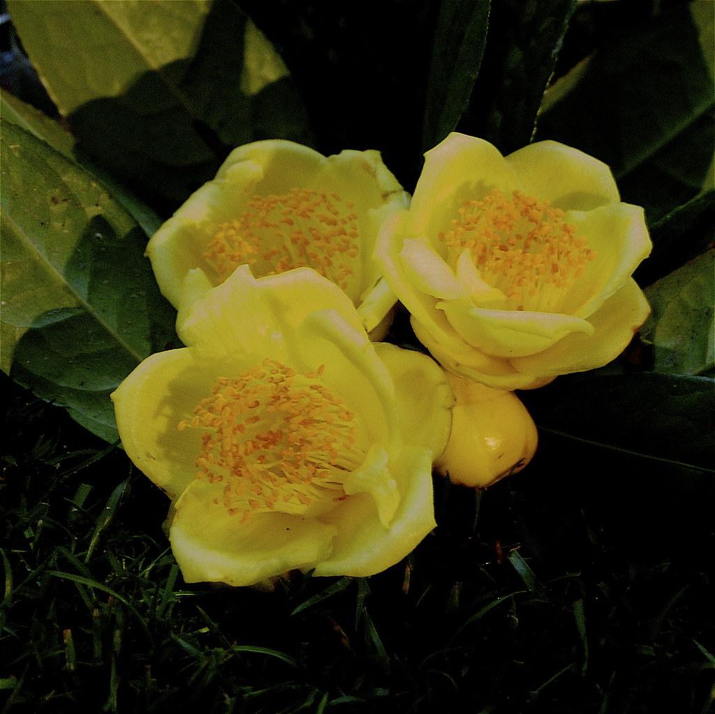 Camélias - Exposição - Camellia chrysantha (China) - Melhor camélia