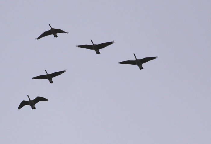 03-15-geese1