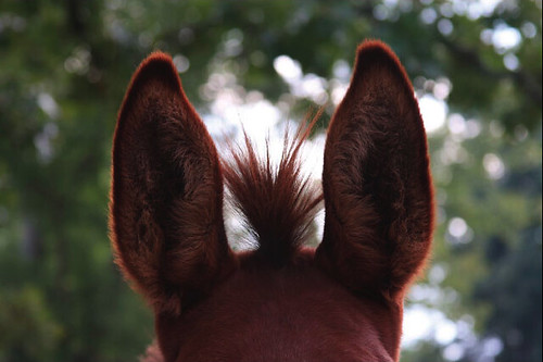 Ears by sara.lauderdale, on Flickr