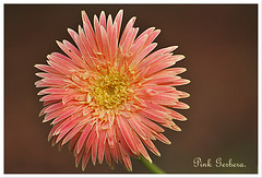 Gerbera.. (Sanjib Behera) Tags: flower beautiful gerbera 2009 jharkhand nursey noamundi