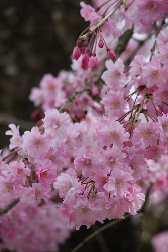 Prunus lannesiana 八重桜