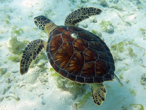 Green Sea Turtle Shell Sea Turtle Shell