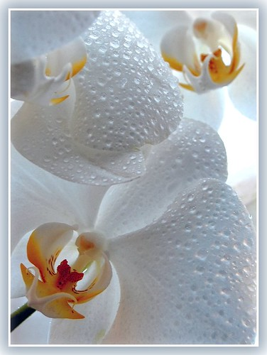 Orchid Misted