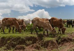 Hungry Cows (Brad Ruggles) Tags: africa cattle cows kenya safari masaimara africansafari nikond90