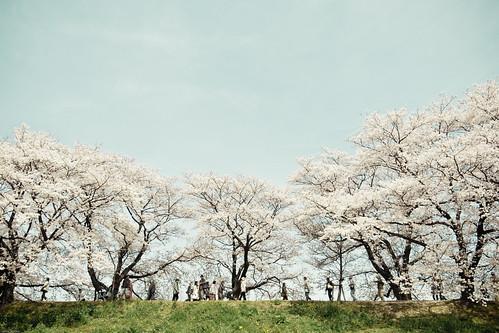 11932 - Sakura2010 #13 - Sewari blossom -