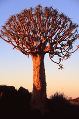 Quiver Tree (Peter Schnurman) Tags: africa sunset namibia fishrivercanyon quivertree