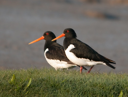 oystercatchers 2