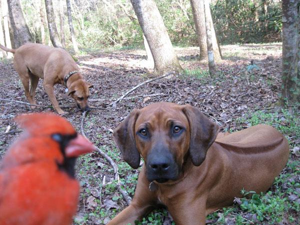 2-hounds-an-a-cardinal