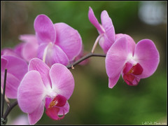 Orchids (LoBsTeRbig) Tags: pink orchids taiwan m42 ep1 蘭花 pentacon5018 updatecollection ucreleased mygearandmepremium mygearandmebronze mygearandmesilver p3266857