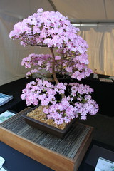 Bonsai Pink Azalea Plant (RYANISLAND) Tags: pink usa fashion festival japan america cherry photography japanese j washingtondc us photo dc washington districtofcolumbia photos blossom pennsylvania district blossoms culture style columbia pop ne event national american ave cherryblossom sakura avenue doc society matsuri pinkish jpop sakuramatsuri the nationalcherryblossomfestival nationalcherryblossom japanamerican