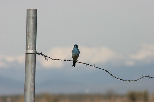 Mountain Bluebird - Umtanum Road