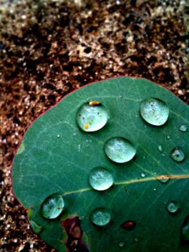 Raindrops on a gum leaf