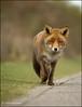 Just keep walking ... (Alex Verweij) Tags: canon walking pov ngc nails fox 7d foxes awd vos nagels potofgold pog reintje alexverweij doubleniceshot pog01animalden bbng