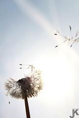 Dandelion (jaroslawkulczynski) Tags: wallpaper flower nature canon photo nikon wind natura dandelion przyroda kwiat dmuchawiec wiatr mniszeklekarski