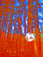 REDWOODS (Eloise Cameron) Tags: trees art digital photo redwood abstraction hypothetical awardtree