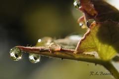 Dew Drops (lavernbeachy) Tags: macro leaves 50mm dewdrops concord grape d300 reversingring macrohackers