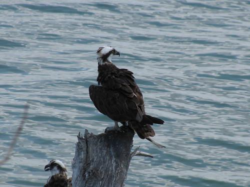 IMG_5630-Bowditch-osprey