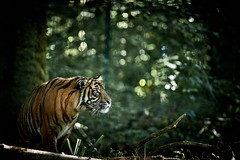 tiger and bokeh (rondoudou87) Tags: tigre tiger pentax k1 parc reynou zoo nature natur bokeh sauvage smcpda300mmf40edifsdm shadow
