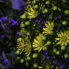 Aeonium Flower Head, #2 (Greatest Paka Photography) Tags: aeonium flora succulent nature flower aeoniumundulatus sanfrancisco bayarea yellow rosette
