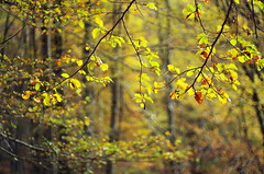 in the forest (ΞSSΞ®®Ξ) Tags: ξssξ®®ξ pentax k5 bokeh autumn lazio italy smcpentaxm50mmf17 nature outdoor plant tree montisimbruini perspective foliage fagus faggeta beech leaves branches light