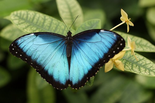 Blue butterfly by plancas67, on Flickr