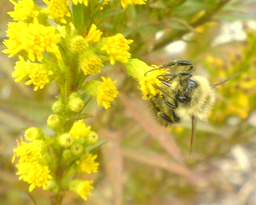 Bumble Bee feeding on Goldenrod flowers taken with a Sony Ericsson W810i Cell Phone