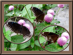 Collage of unidentified butterfly at our garden bed, October 30 2009