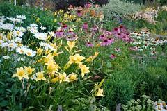 20070805-DSC_4195 (Dick Conrad) Tags: flowers garden vermont echinacea dickconrad
