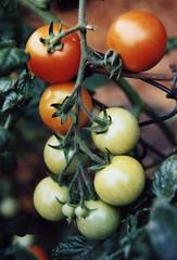 Tomaten (panoramafotoclub) Tags: film analog symmetry tomaten om2 symmetrie unreif