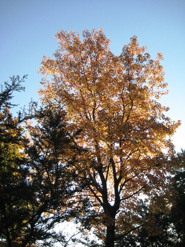 neighbor's sweet gum tree in autum 2009 (1) (by Ateupamateur)
