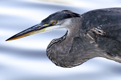 great blue heron s-curve