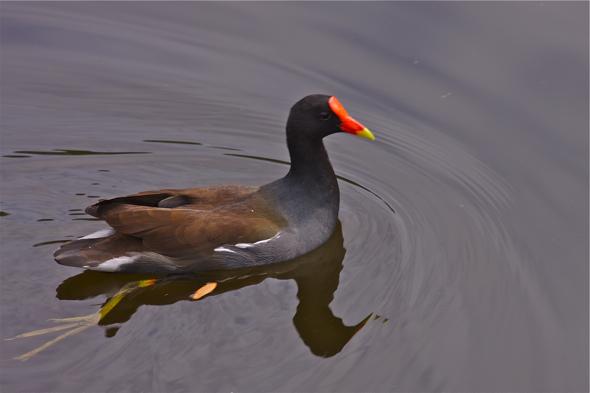 bird09_morhen
