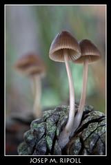 Mycena seynii (JM Ripoll) Tags: barcelona forest mushrooms spain bosque fungus funghi pilze wald svamp mycology pilz champignons setas fong bosc foresta cogumelos fungo bolets micologia mikologia onddo perretxikoak micologa vallgorguina mycologie mycenaseynii pilzkunde foraoise
