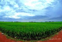 """""""cloudy"""" and greeny (Ghufranik Hamid) Tags: fisheye padi selangor sawah tanjung karang greeny"""