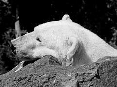 Tired Mercedes (B&W) (RD Crisp Photography) Tags: bear blackandwhite bw edinburgh panasonic polarbear edinburghzoo 45200mm lumixg1 vario45200mmlens