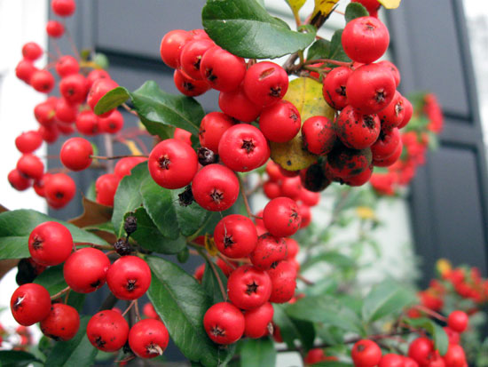 Festive Red Berries (Click to enlarge)