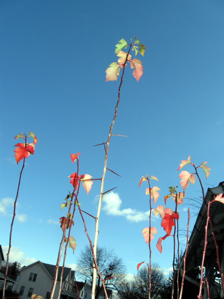 Bright Leaves, Blue Sky (Click to enlarge)