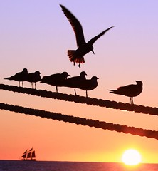Key West Gulls ~ Quarta Sunset 13 (PelicanPete) Tags: sunset seagulls silhouette sailboat thanksgivingweekend birdinflight keywestflorida thefloridakeys horizonline cruiseshiplines glowingtailfeathers quartasunset13 keywestgulls