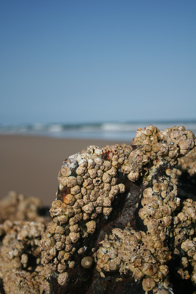 Barnacles take over