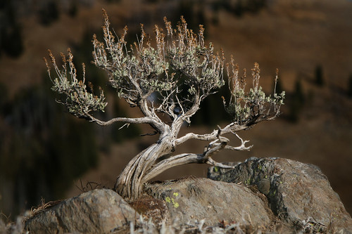 Sagebrush Bonsai