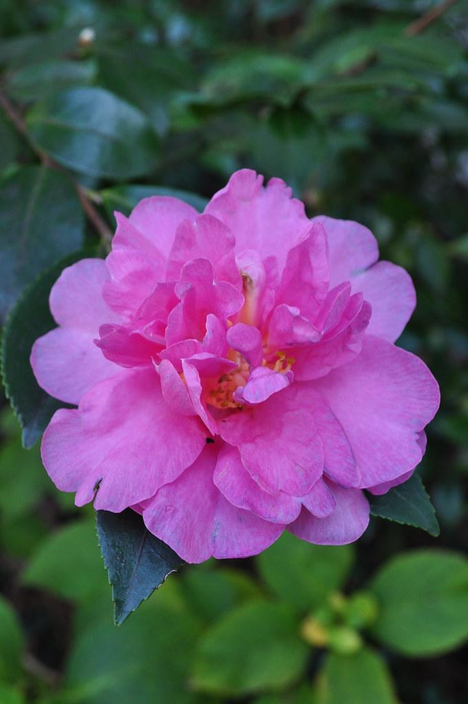 Camellia sasanqua 'Show-No-Sake'