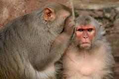 [フリー画像] [動物写真] [哺乳類] [猿/サル] [耳打ち]       [フリー素材]