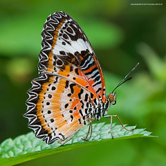 leopard lacewing butterfly (nonoiphotography (post and run mode)) Tags: nature butterfly nikon d300 leopardlacewing macrolicious hortpark 105vrmicro macrolife