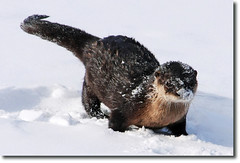 Otter playing in the snow. (nature55) Tags: snow animal wisconsin mercer otter northwoods