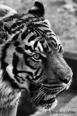 Rokan in B&W (Leffson Photography) Tags: nationalzoo sumatrantiger fonz endangeredspecies canon70200mmf28l nationalzoowashingtondc rokan allrightsreserved canonxti endangeredcats flickrbigcats marleneleffson leffsonphotography marleneleffson allrightsreservedmarleneleffson causeanuproar