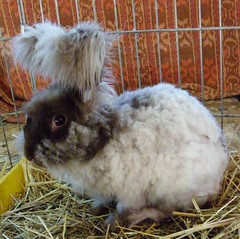 Kabooki just clipped (ixchelbunny) Tags: bunnies rabbits angora ixchel