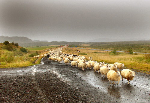 Icelandic sheeps (by Anna.Andres)
