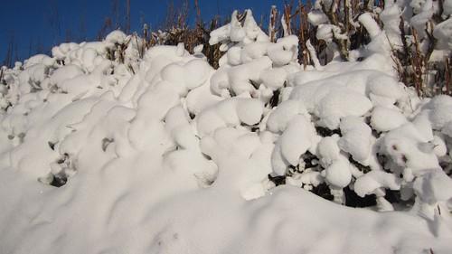 snow-hedge-lumps