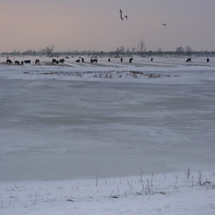 Harsh winter at the Oostvaardersplassen (Bn) Tags: birds fauna topf50 vogels goose amphibians mammals wildhorses reddeer flevoland brantacanadensis ecosystem snowylandscape avifauna tms wildanimals redfox tellmeastory winterinholland staatsbosbeheer konikhorses edelhert konikpaarden almerebuiten oostvaarderplassen 50faves zoogdieren grauweganzen grotecanadesegans amfibieen winter2010 edelherten heckrunder